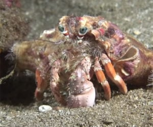 Anemones Are Not Crab's Enemies