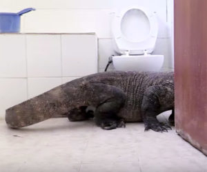 Komodo Dragon in the Bathroom