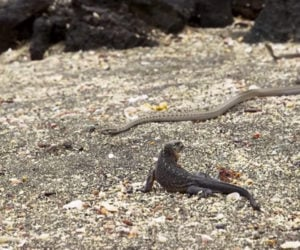 Planet Earth II: Iguana vs. Snakes