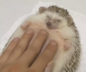 Slacken the Hedgehog