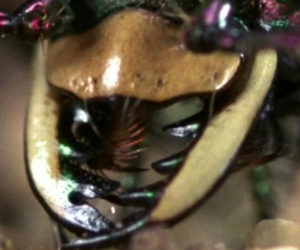 The Murderous Tiger Beetle