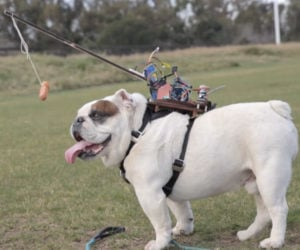 Remote-controlled Bulldog