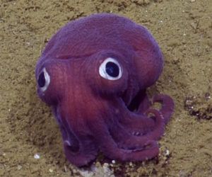 Googly-eyed Stubby Squid