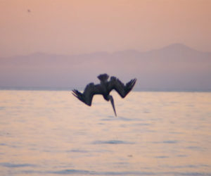 Pelicans: Evolution of a Dive Bomber