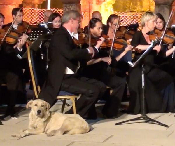Orchestra Dog