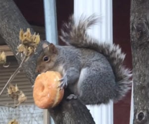 Donut Squirrel