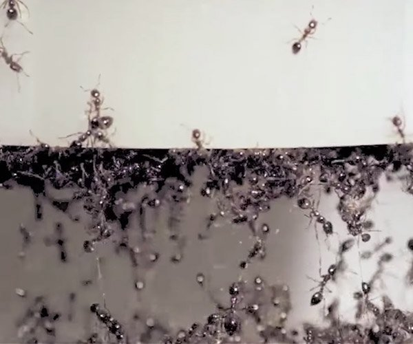 The Bizarre Physics of Fire Ants