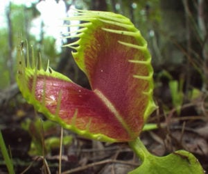 True Facts About Carnivorous Plants