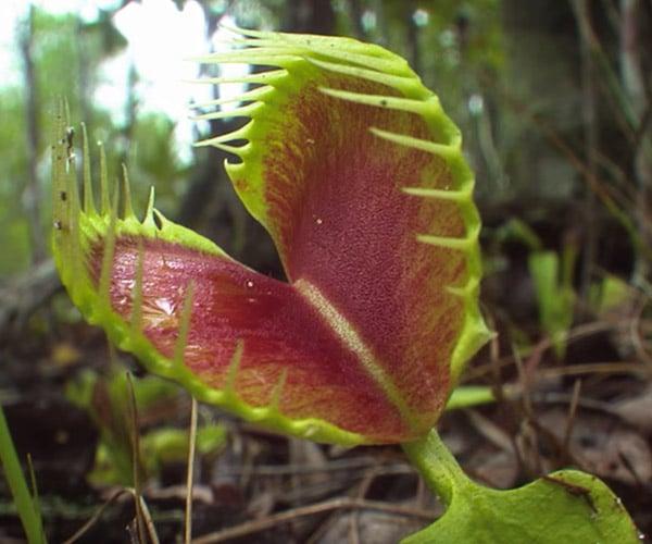 True Facts About Carnivorous Plants
