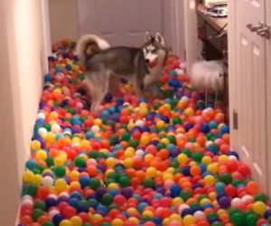 Dog Gets a Ball Pit
