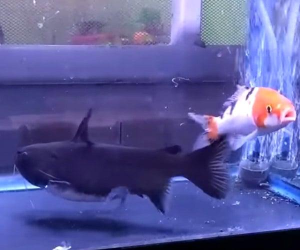 Gulper Catfish Has Lunch