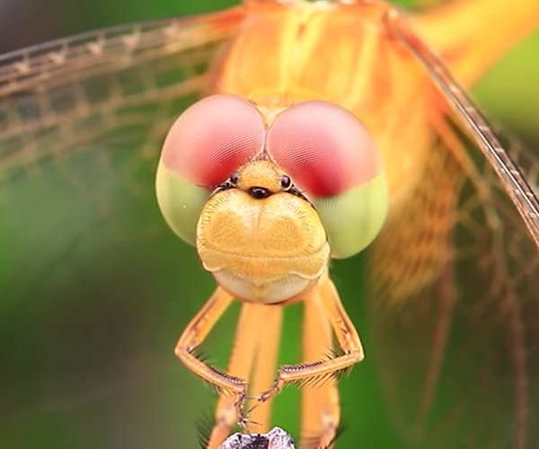 True Facts About Dragonflies