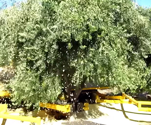 How to Harvest Olives