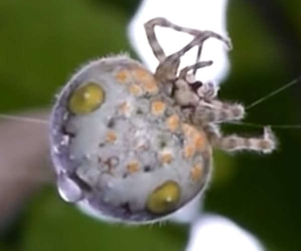 True Facts About the Bolas Spider