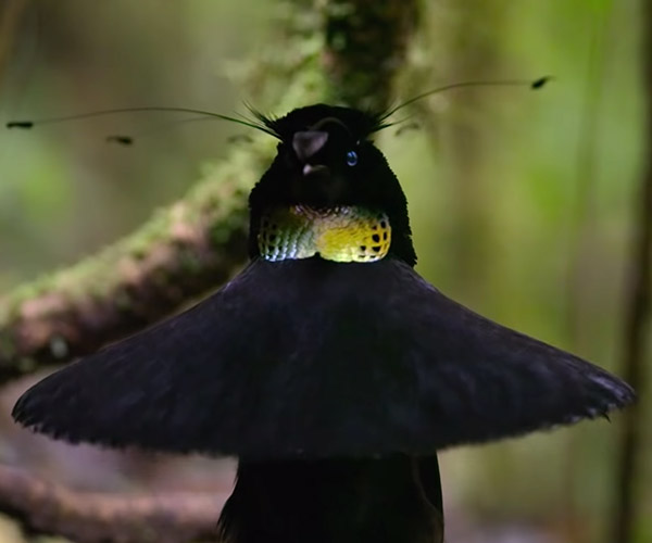 Our Planet: Birds of Paradise