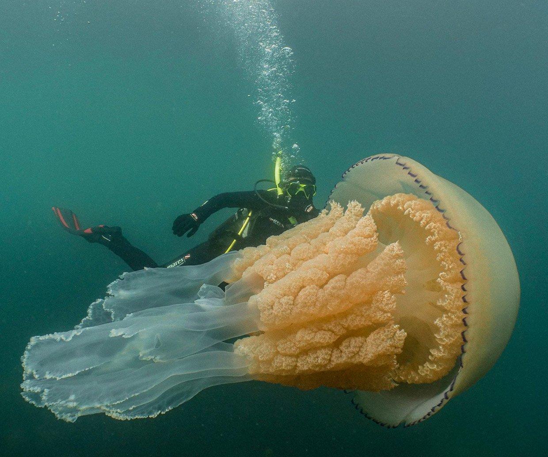 Giant Barrel Jellyfish
