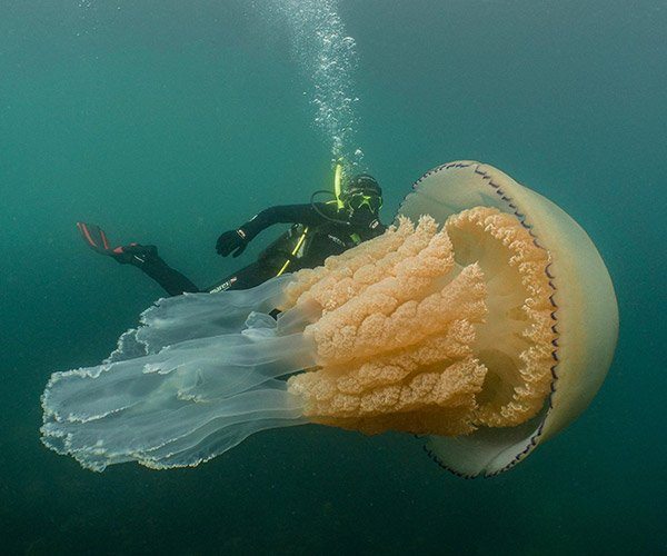 Giant Barrel Jellyfish