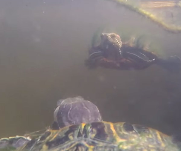 GoPro on a Turtle