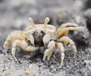 True Facts: The Sand Bubbler Crab