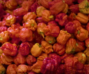 Growing The World's Hottest Pepper