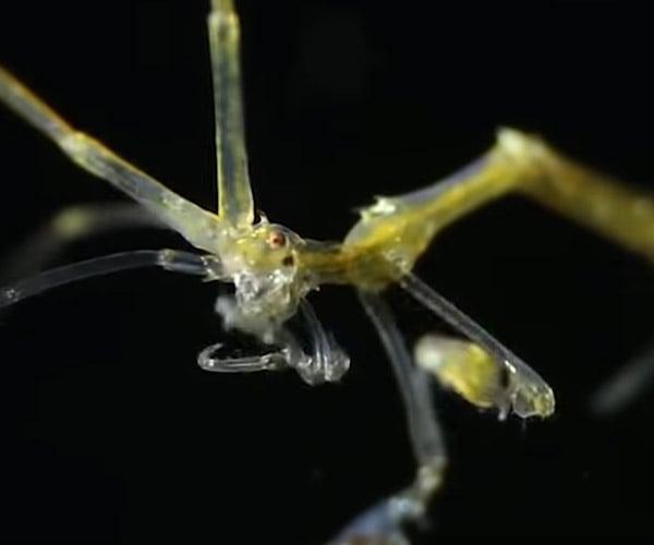 True Facts: The Skeleton Shrimp