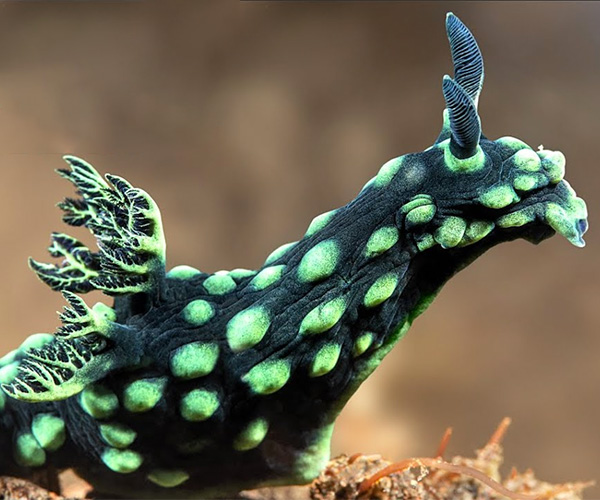 True Facts About Nudibranchs
