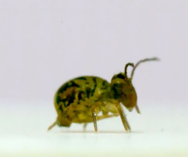 The Globular Springtail