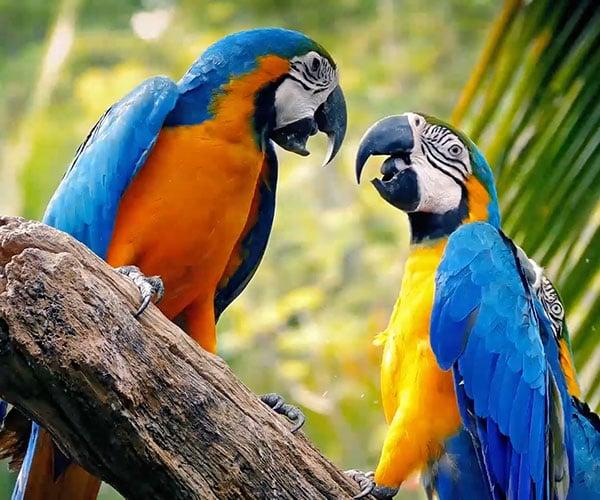 Are Parrots OP?