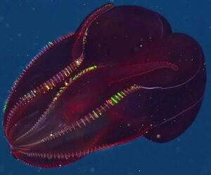 The Bloody-Belly Comb Jellyfish