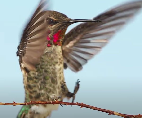 True Facts About Hummingbirds