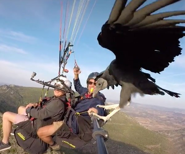 Vulture Visits Paragliders