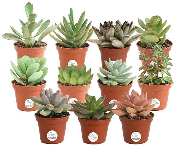 Succulent Plant Multi-packs