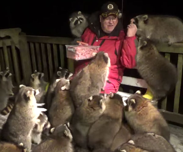 Mobbed by Raccoons
