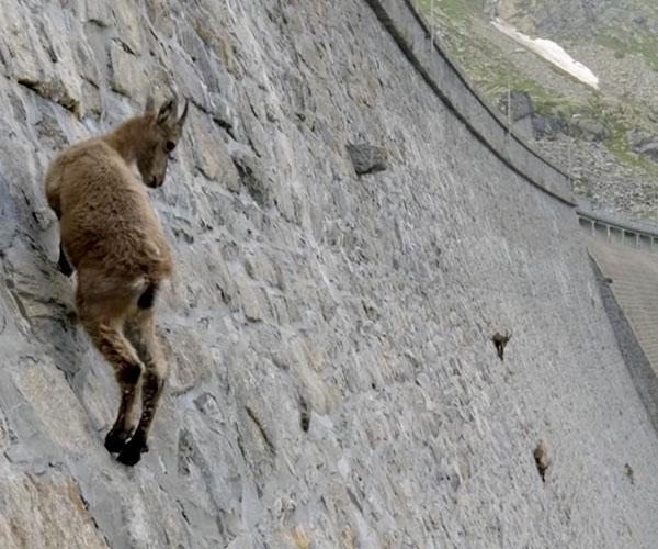 Wall-climbing Goats