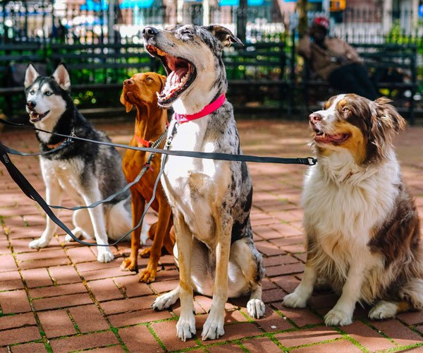 DNA My Dog Breed Identification and Genetic Screening