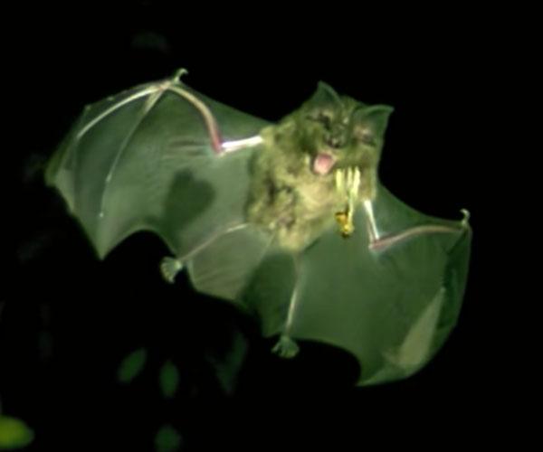 Are Bats OP?
