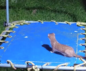 Stoat on a Trampoline