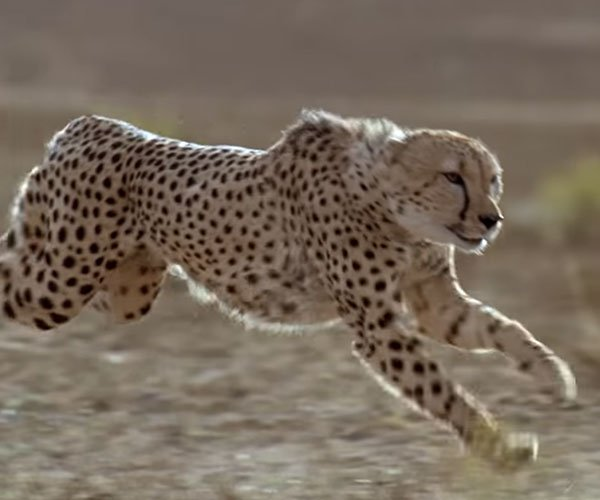The Problem with Cheetahs