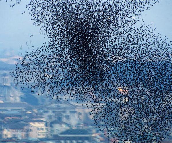 10 Million Starlings Swarming