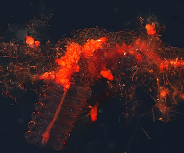 Up Close with Siphonophores