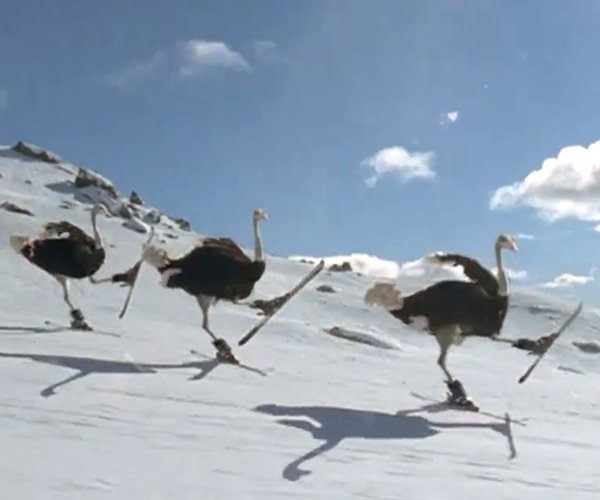 Skiing Ostriches