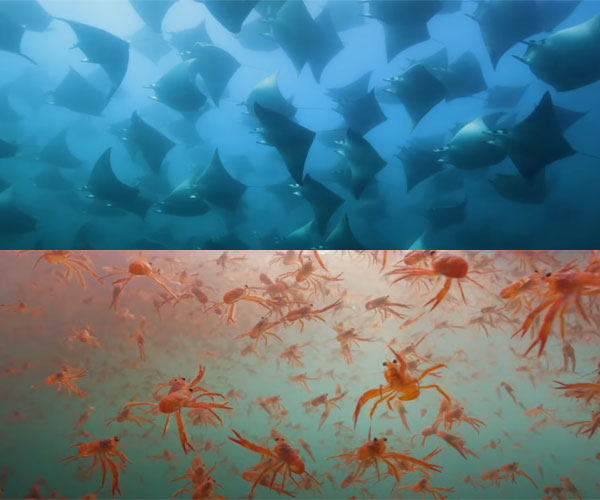 Epic Animal Migrations: Crabs and Rays