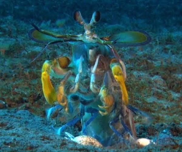 Mantis Shrimp vs. Octopus