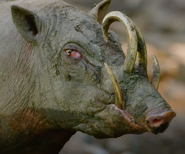 True Facts About Wild Pigs